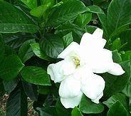 6月〜7月に毎年花をつける近所のくちなし(クチナシ/ガーデニア)