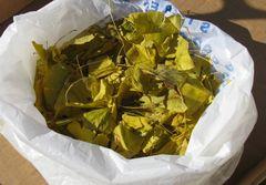 武蔵国分寺・七重塔の跡、銀杏(イチョウ)の落葉した葉