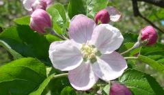 雪うさぎ麓の林檎の花