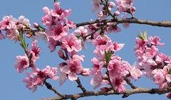 雪うさぎ麓の桃の花