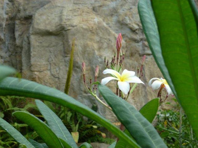 神代植物公園のプルメリア