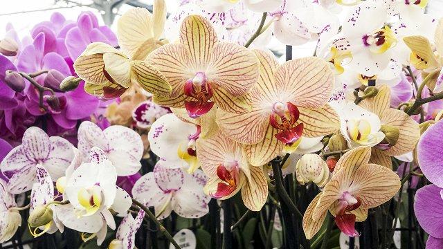 香りの花、ラン