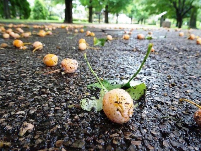 雨で散った銀杏