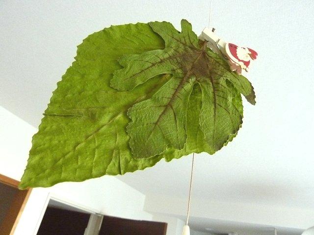 イチジクの乾燥葉っぱ
